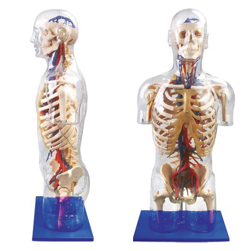 Transparent Torso with Main Neural and Vascular Structures
